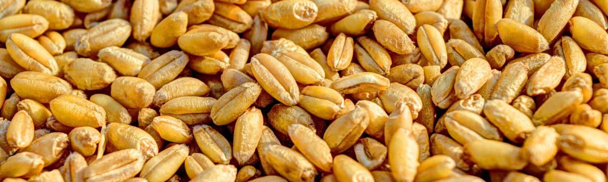 המון גרעיני חיטה שמהם אפשר להכין לחם